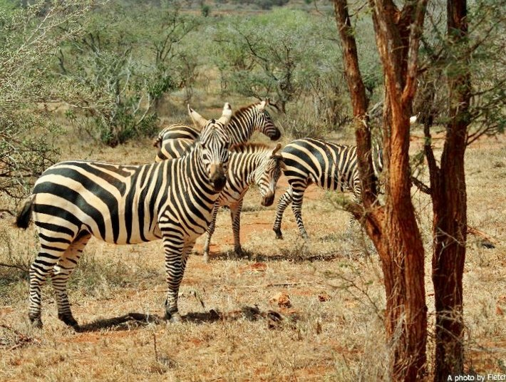 zebra, tsavo west, kenya