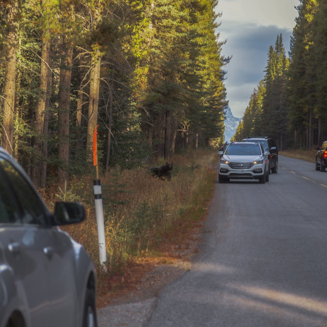 A black bear emerges from the woods alongside the Bow Valley Parkway in Alberta