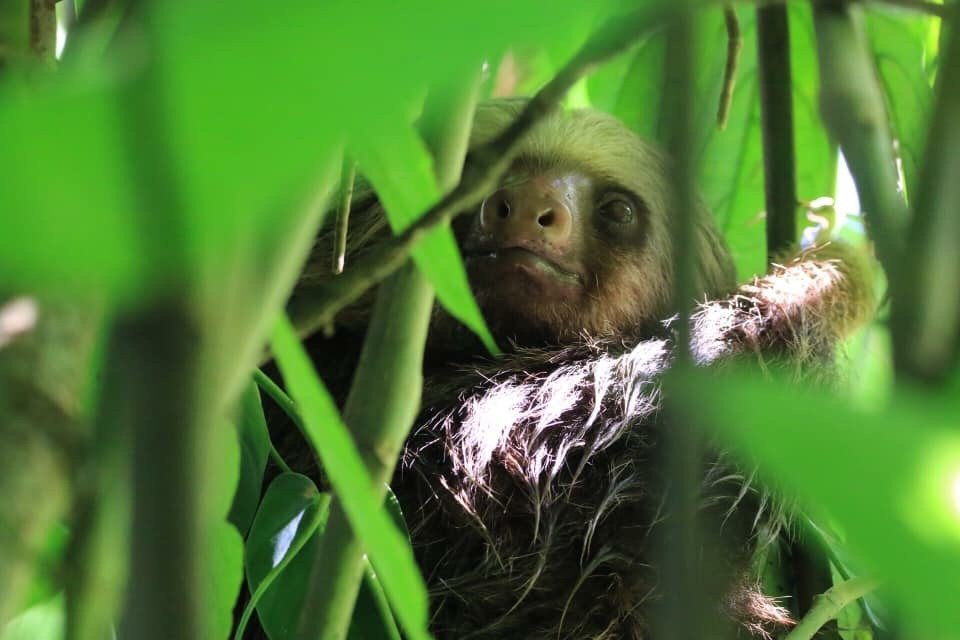 Two-toed sloth. Photo Credit: Katie Stepanian