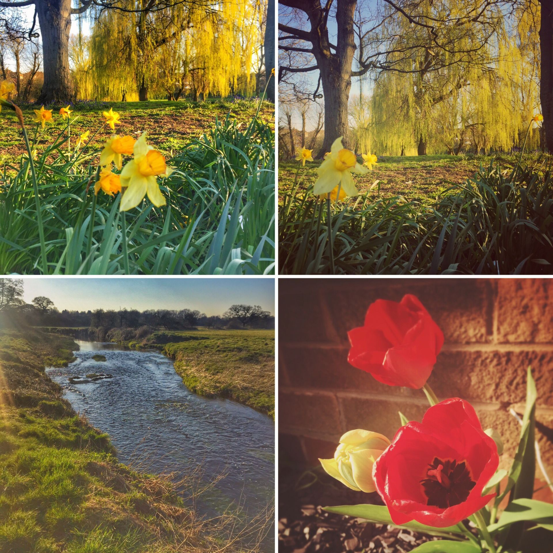 A collage of shots from a riverside walk, including yellow daffodils and red tulips